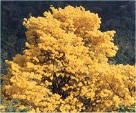 yellow poui tree